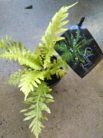 silver lady- blechnum. Click for more information...
